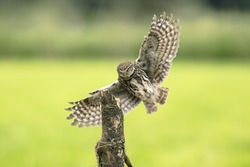 Little owl, Athene noctua, bird of prey in flight with spread wings while hunting above farmland.