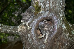 LITTLE OWL athene noctua, CHIK AT NEST ENTRANCE, NORMANDY IN FRANCE