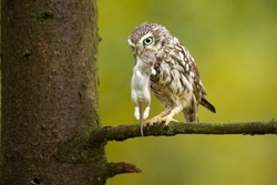 Little owl (Athene noctua) is a bird that inhabits much of the temperate and warmer parts of Europe, Asia east to Korea, and north Africa. Taken in Czech republic