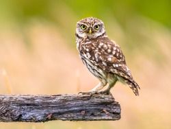 Little Owl (Athene noctua) nocturnal bird perched on log and looking at prey