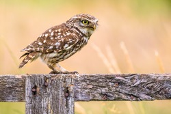 Little Owl (Athene noctua) nocturnal bird perched on log and looking to side at prey
