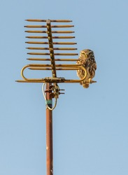 Little owl Athene noctua perched on ancient TV aerial in soft evening sunshine blue sky background
