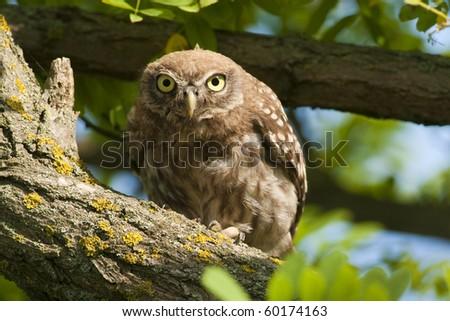 Little Owl in a tree, looking