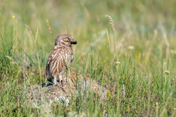 Little owl in natural habitat Athene noctua. Owl stands in the grass with a beetle in its beak. Close up.
