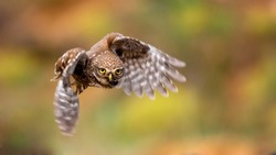 little owl is flying with prey. Athene noctua