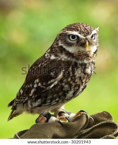 Little Owl on Falconer's Glove