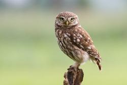 Little owl on tree