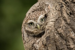 Little owl peering out of a tree.