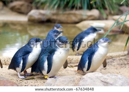 Little Penguins in Featherdale Wildlife Park in Australia