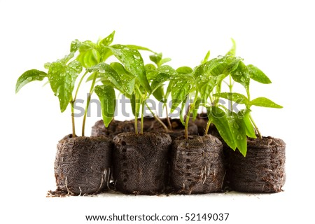 Little pepper plants with water drops on them in peat (coal) balls, isolated on white