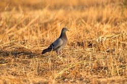 Little pigeon in a stubble field