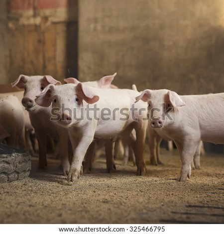 Little pigs at pig\'s farm. Shallow depth of field.