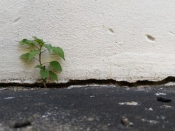 little plant adaptation growing on cement, concept of transition and variation