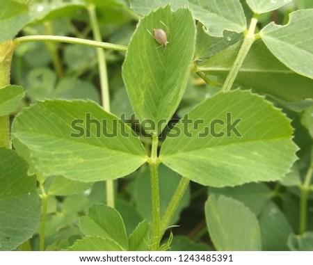 little plant louse on clover