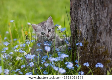 Photo of  Little Playful Gray Kitten on a Green Grass in the meadow with forget-me-nots near the tree. Cat for the first time outdoor.