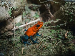 Little poison frog of the red color