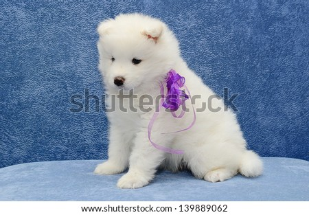 Little pretty hilarious and funny white Samoyed husky puppy is sitting together on a blue sofa