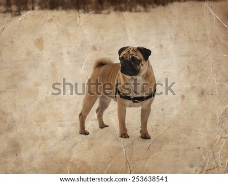 Little pug dog standing infront of winter evening landscape with falling snow. Fog background with trees and dry grass covered with snow, pug dog walking on snow, pug dog
