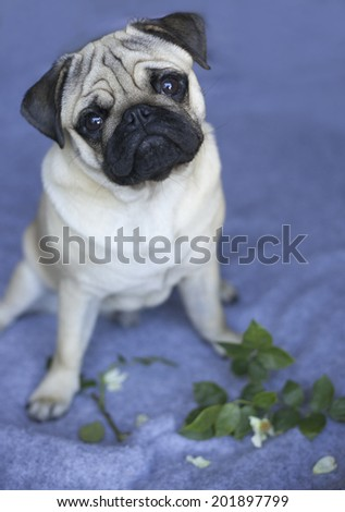 Little pug puppy with a funny face ate rose flower