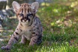 Little puma kitten is sitting on green grass. Spotted puma cub. Little cougar portrait. Сougar cub staring at camera