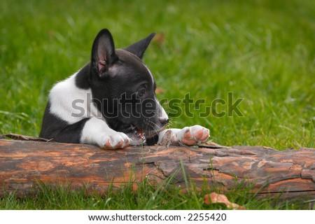 little puppy basenji on green grass