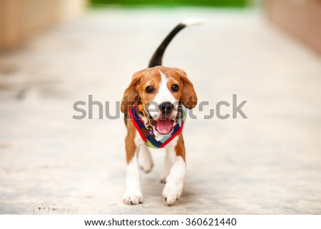 Little puppy beagle running with happy face -zoom in