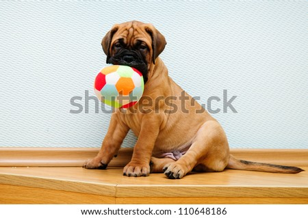 little puppy bullmastiff played in the house.