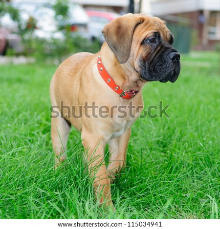little puppy bullmastiff running on the green grass - stock photo