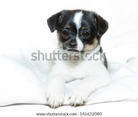 little puppy chihuahua with sad eyes is sitting on a white bedding