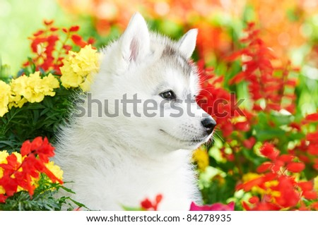 little puppy of Siberian husky dog one month old in flowers outdoors