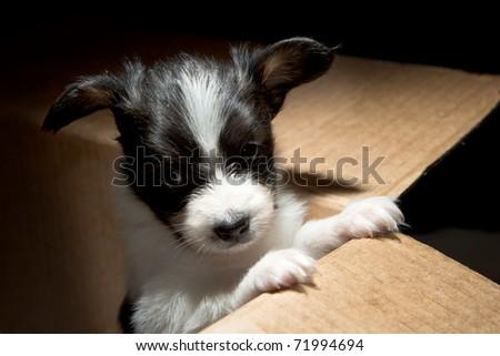 Little Puppy Papillon in carton box