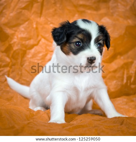 Little Puppy Papillon on a orange background