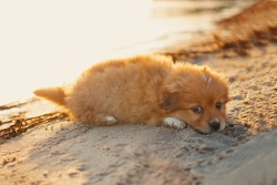 Little puppy. Pomeranian spitz-dog lies on the beach and waits for a friend and family