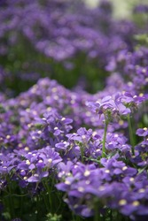 Little purple flower in Spring.
