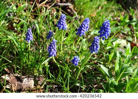 Blue scilla siberica or siberian squill flowers first spring blue scilla siberica or siberian squill flowers first spring flowers ez canvas mightylinksfo