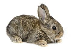 little rabbit isolated on white background