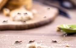 little red ant eating and carrying leftover breadcrumbs on the kitchen table. Concept of poor hygiene or homemade pest, point focus