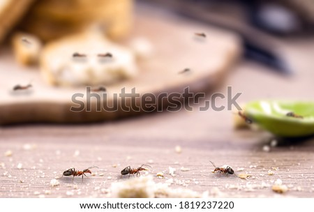 little red ant eating and carrying leftover breadcrumbs on the kitchen table. Concept of poor hygiene or homemade pest, point focus Photo stock ©