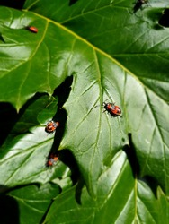 Little red bugs sitting on a large green leaf