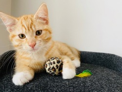 little red cute kitten with white paws lying on black pillow in house. Very beautiful little pet . Portrait of animal indoors with dark eyes. Cat hold bright small ball toy. White background of wall