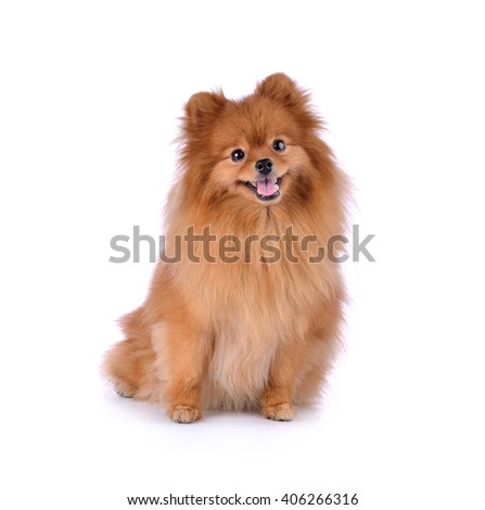 Stock Photo little red dog lying on a white background
