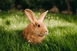 Little red-eared rabbit on the green grass, eating leaves in summer. Easter celebration, Easter bunny in the garden. Beautiful pet. Fluffy animal, fur. Home, joy, spring, nature.