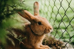 Little red-eared rabbit on the green grass in a cage near the fence in summer. Easter celebration, Easter bunny in the garden. Beautiful pet. Fluffy animal, fur. Home, joy, spring.