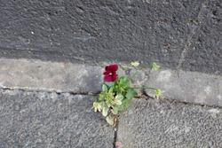 Little red flower growing in the grey sidewalk.
