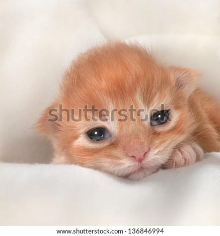 Little red kitten under white blanket