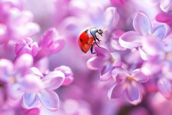 Little red ladybug in lilac flowers in spring. Macro shot, selective focus.