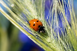 Little red ladybug is climbing wet spica grass with tiny water doplets on it. Summer background