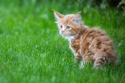 Little red maine coon cat on the grass