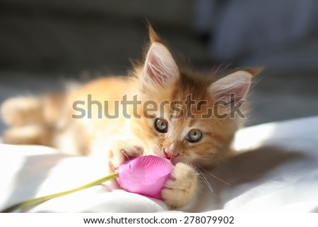 Little red Maine Coon kitten playing wirh the flower