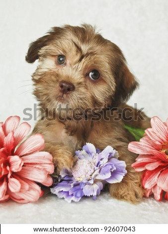 Little red puppy looking very Curious, sitting with flowers on a white background.